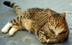 Billy The Cat (CmdrGravy) Tags: cat hair sit purr bite billy but knee scratch ambush mellowing