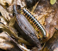 "MD- Catoctin - centipede • <a style=""font-size:0.8em;"" href=""http://www.flickr.com/photos/30765416@N06/4687836877/"" target=""_blank"">View on Flickr</a>"