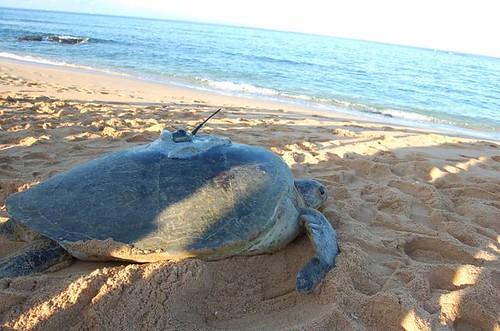 海龜洄游路徑追蹤。圖片提供:海洋生態暨保育研究室