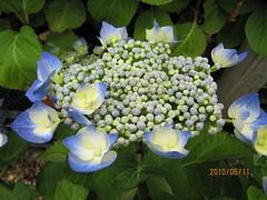 Hydrangea 'Teller Blauling' (wallygrom) Tags: england westsussex hydrangea gardencentre gardencenter angmering june2010 manornursery manornurseries