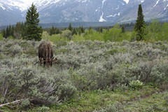 Moose snackin' on the sagebrush, Grand Teton National Park (Trevor.Huxham) Tags: wyoming grandteton grandtetonnationalpark nationalpark moose sagebrush trees mountains canonef50mmf18ii canoneosrebelxs