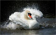 A Bigger Splash (Tony Gill) Tags: white water swan dorset splash mute wildfowl springwatch abbotsburyswannery