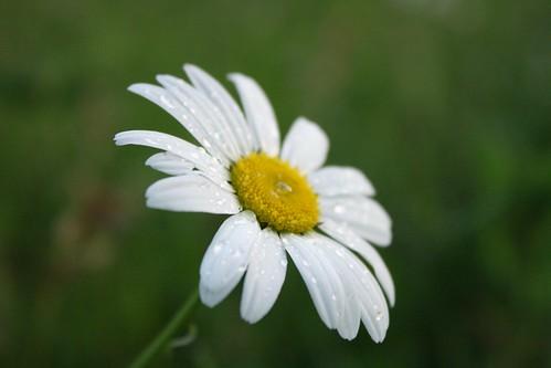 Raindrop Daisy