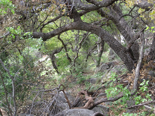 Thick Trees In the Organ Mountains