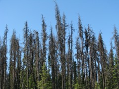 Mountain Pine Beetle Killed Forest (Dan Stanyer (Northern Pixel)) Tags: trees mountain canada tree nature pine forest bc beetle columbia killed british northern pinus contorta lodgepole