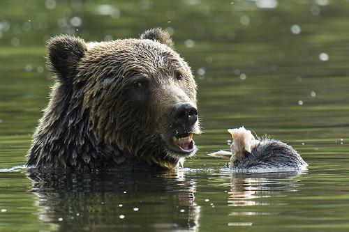Happy Grizzly Bear / Photo by Michael Wigle
