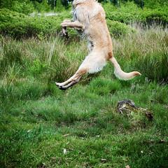Charlie (janGlas) Tags: dog animal jump hond charlie sprong ©janglas