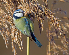 Poser (Andrew Haynes Wildlife Images) Tags: bird nature reeds wildlife coventry bluetit warwickshire canon7d ajh2008