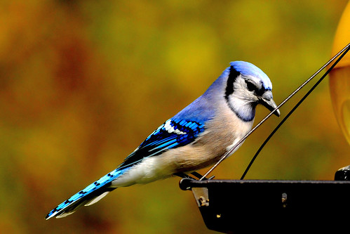 beautiful bluejay 10 2010