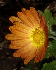Mum Flower (KoolPix) Tags: flower nature colorful mum dailynaturetnc10 photocontesttnc10 lifetnc10 dailynaturetnc13 wcswebsite photocontesttnc14 dailynaturetnc14