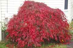 Fall Maple Bush