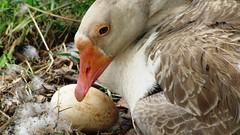 Condominio Terras do Imperador (sadmilson) Tags: duck do pato condominio terras imperador ovos egges