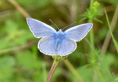 Common Blue butterfly (Steeple Ducks) Tags: butterfly butterflies wiltshire upton scudamore a350 bank embankment verge road
