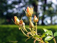 Gelbe Rosen Britzer Garten (magritknapp) Tags: rosen britzergarten bokeh roses britzergarden britzjardin rosas britzjardín britzgarden britzgiardino