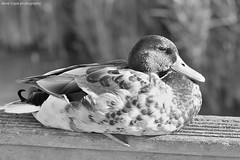Mallard (SteveH1972) Tags: blackandwhite monochrome canon7d canon70200 70200 nonis ducks duck mallard watersedgenaturereserve northlincolnshire lincolnshire nature wildlife barton bartonuponhumber feathers naturereserve 2017 outdoor outdoors outside