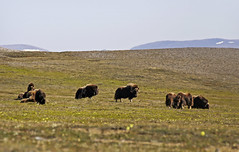 CAKR muskox lazily graze in the Kakagrak Hills. (AlaskaNPS) Tags: backcountry capekrusensternnationalmonument cakr wilderness vast tundra hills muskox wildlife alaska nationalpark alaskanationalparkservice