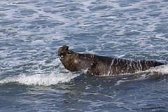 Elefante Marino 8 (pniselba) Tags: elefantemarino chubut argentina peninsula peninsulavaldes puertomadryn madryn sea ocean mar oceano elefante elephant elephantseal mirounga playa beach