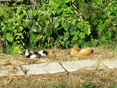 IMG_8574 (Chat Malicieux) Tags: cats katzen kätzchen kittens garfield joana