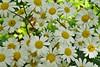 Margeriten (GerWi) Tags: margeriten blumen flowers blossoms blüten pflanzen natur nature