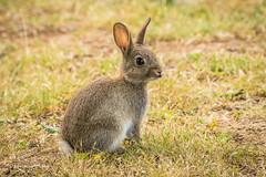 Hello there cutie D50_9410.jpg (Mobile Lynn) Tags: landmammals rabbit nature wild fauna mammal mammals wildlife peterborough england unitedkingdom gb coth specanimal coth5 ngc sunrays5 npc