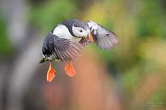 Perroquet de mer (Fabien Serres) Tags: alcidés atlanticpuffin charadriiformes fraterculaarctica macareuxmoine oiseau bird