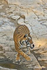 AS_000002080 (dickysingh) Tags: wild india landscape scenery outdoor tiger scenic bigcat aditya ranthambore singh ranthambhore dicky adityasingh ranthamborebagh theranthambhorebagh wwwranthambhorecom