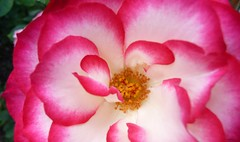 LAST SUMMER 3 (picolojojo) Tags: flowers red white flower nature fleur rose fleurs rouge petals petal panasonic blanc ptale ptales