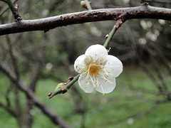 Plum (ddsnet) Tags: plant flower sony plum cybershot        nationaltsinghuauniversity wx1