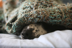 under the covers (ginnerobot) Tags: morning winter dog pet cold cute nose 50mm morninglight bed inbed blankets cosmo cuddling jackabee