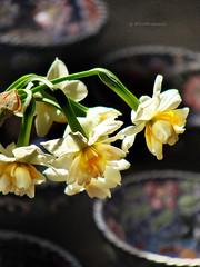Wild narcissus (VillaRhapsody) Tags: flowers winter yellow turkey mediterranean december wildflowers wildflower fethiye narcissus kayaky challengeyouwinner villarhapsody