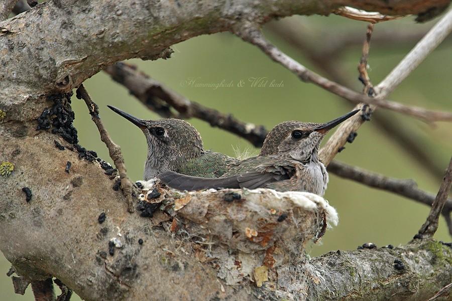 Anna's Hummingbird nest 09001-4