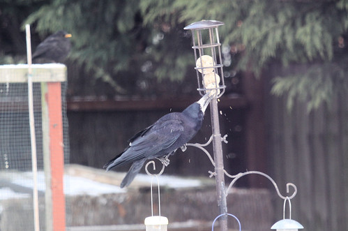 Rook at the Fat Ball Feeder