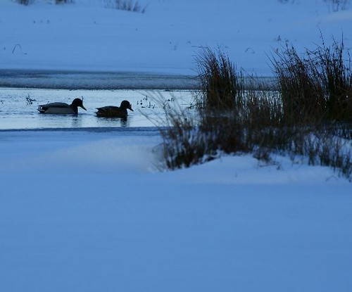 Winter Ducks as night falls
