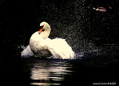 swan makeing a big splash in the water (coral.hen4800) Tags: blue sky white green water fly drops wildlife parks swans ponds flickrdiamond