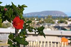 (rnakama_photos) Tags: oahu hibiscus hanaumabay