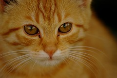 Ryžas katinas :) (Zitute) Tags: katinas