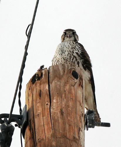 prairie falcon stares at me saratoga 2
