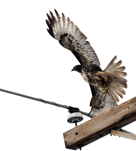 redtailed hawk launches from tele pole crop
