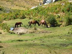Pozzine et chevaux du ruisseau de Pascialella au N de Punta Bambiola