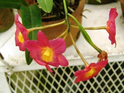 orquidea 18