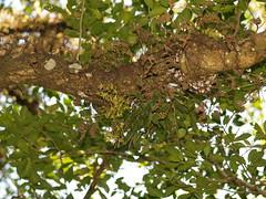 Orquídea mosca verde / Green fly orchid (Epidendrum conopseum), hábitat 1