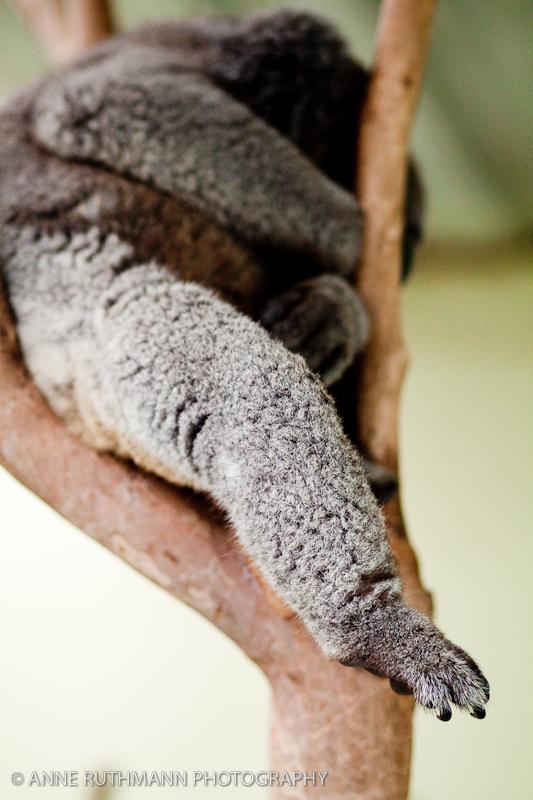 Koala Leg & Foot