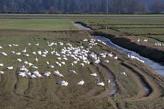 Snow Geese (Marta_9) Tags: birding skagitvalley snowgeese