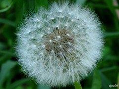 Make A Wish (PhotoMill15) Tags: make closeup seed dandelion seeds wish foilage dandelions makeawish
