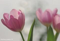 Pink Tulips (bluehazyjunem) Tags: pink spring tulips near 2010 doublefantasy impressedbeauty flickrdiamond platinumheartaward macroflowerlovers awesomeblossoms flickrflorescloseupmacros
