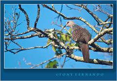 Spotted Dove (Streptopelia chinensis) (Tony Fernando) Tags: birds nationalpark shot photos dove snap images photographs spotted srilanka yala stockphoto stockphotography chinensis streptopelia stockimagery srilankanimages visitsrilanka2011 tonyfernando
