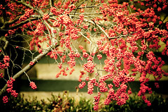 Berries2! (MissyBrown) Tags: nikon kentucky anchorage louisville 18200 lightroom xequals d300s missybrownphotographer