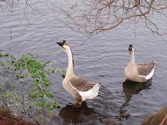 bei ax (dmathew1) Tags: nature birds stpetersburg florida ducklings crescentlake motherduck