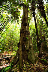 Baby grave, Kambira, Tana Toraja (QooL / بنت شمس الدين) Tags: travel tree sulawesi banyan qool tanatoraja makassar babygrave ujungpadang torajaland kambira qoolens engrekang objekwisata