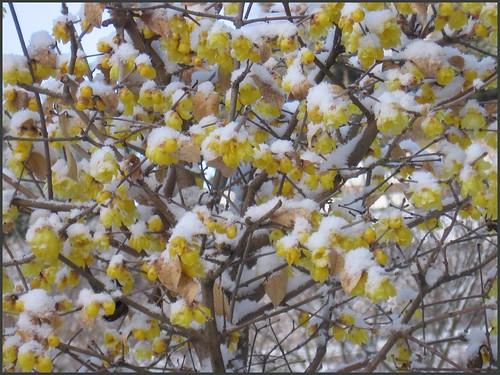 04 robai blossoms